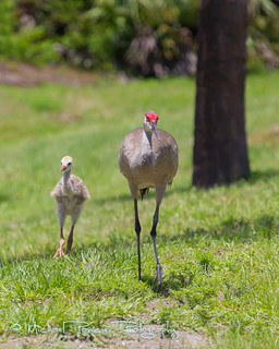 Urban Sandhill Crane 1st and 2nd Generation | by Michael Pancier Photography