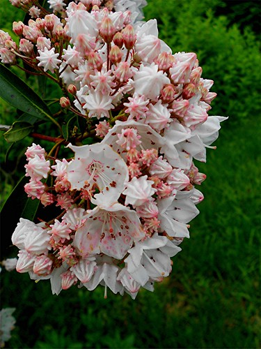 Mountain Laurel | by Maureclaire