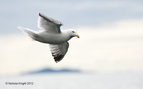 Herring Gull (Larus argentatus) | by Wide World Images
