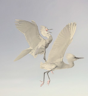 Snowy egret rodeo...YEEHAW! | by wowography.com