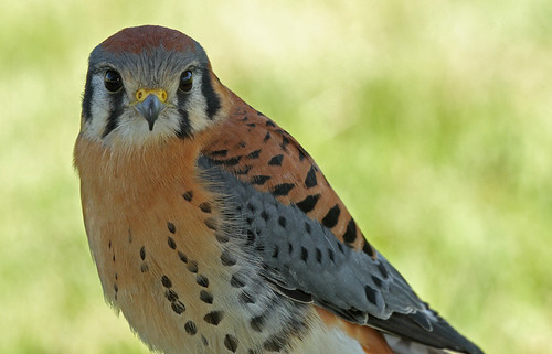 Male Kestrel | by littlebiddle