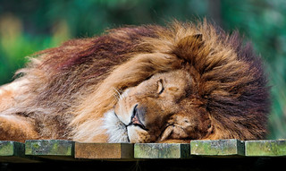 Cute sleeping lion | by Tambako the Jaguar
