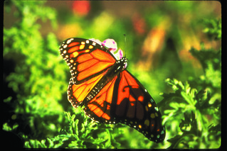 Monarch Butterfly, Pacific Grove | by ramadamonterey