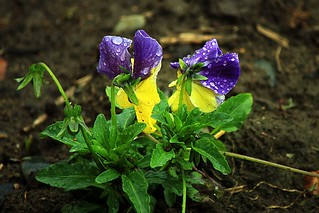 Wet Pansies | by Cameraeye T6S
