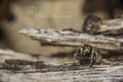 Salticid | by NatureStills