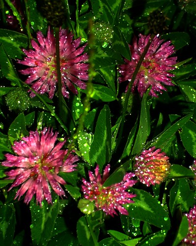 Red Clover after rain | by spratmackrel