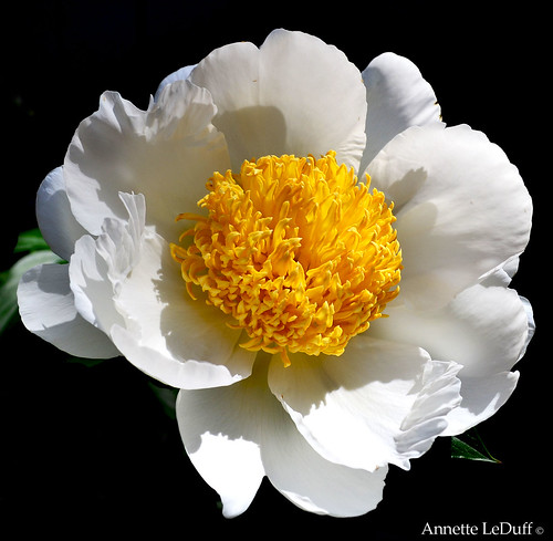 Full White Peony Yellow Center | by Annette LeDuff