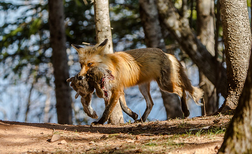 IMGL8924 Red Fox Mom #1 with Rabbit | by Wallace River
