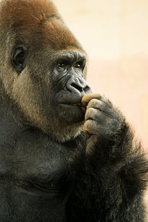 il gorilla | by ROSSANA76 Getty Images Contributor