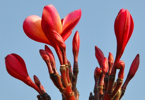 Red Plumeria bloom and buds | by PL Tandon (Thanks for 4.9 Million+ views)
