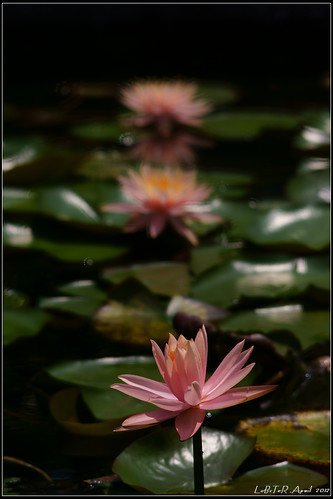 Waterlily | by LoBsTeRbig