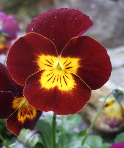 Another pansy I love | by yvie.cee Offline - grieving