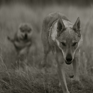 Little Wolf | by Timoleon Vieta II