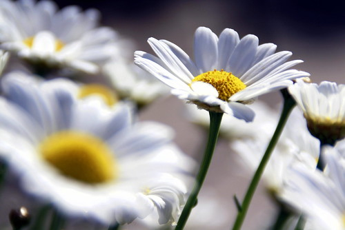 Marguerites | by Stephanie Sophie