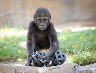 Baby Gorilla | by Noah M