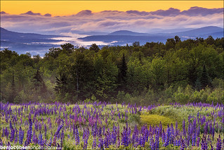 Down Valley Lupines | by benjacobsen