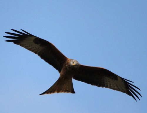 Red Kite | by S C photos