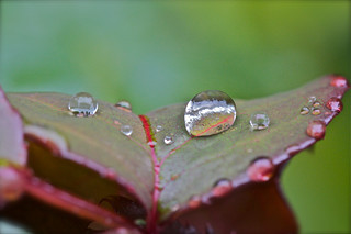Colours of Copthorne: Wet Rose Leaf | by Zafar (newatclicking is chewing the cud....)