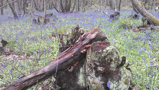 moss-covered stool with bluebells | by NT.in.Essex