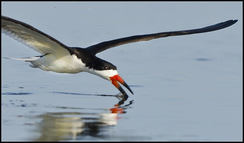 Black Skimmer (Chincoteague, NWR) | by JoeUrbanPhoto