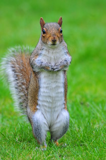 greysquirrel | by new blue bird