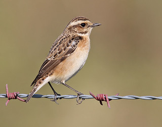 Whinchat - Saxicola rubetra (Explored) | by Roger H3