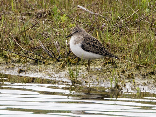 Temminck's Stint | by Mark_Coates