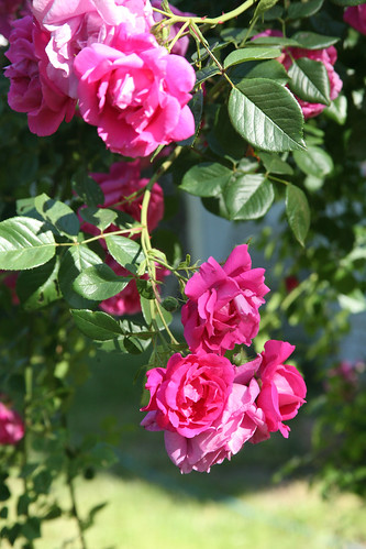 Rosalee's Roses | by Hot Pepper Dave