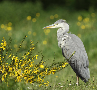 Young Heron With Wildflowers | by alison brown 35