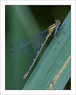 Female Azure Damselfly | by Mister Oy
