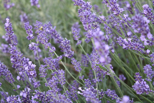 Lavender | by I, DL.