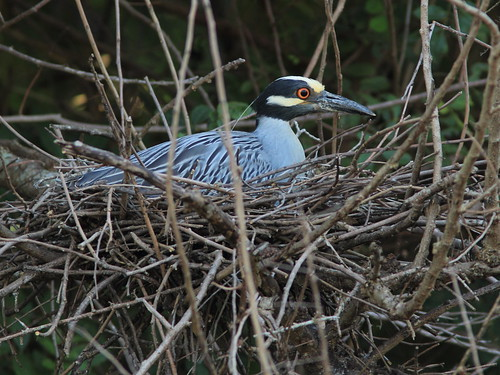 Yellow-crowned Night-Heron Nest 9-HT 2nd pair incubationg 20120610 | by Kenneth Cole Schneider