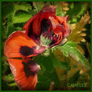 Poppy even beautiful in wilted condition, | by Cajaflez