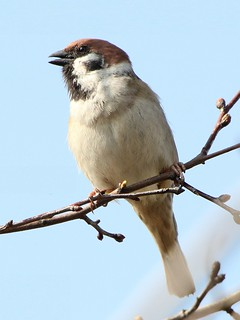 Tree Sparrow Singing | by Ger Bosma