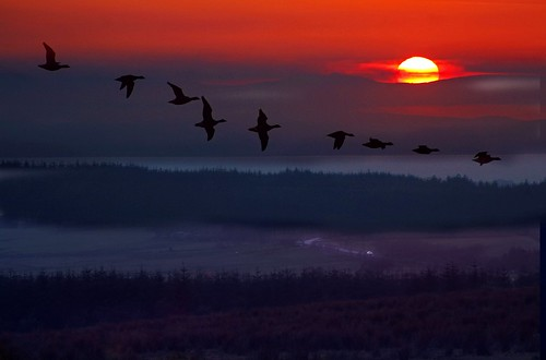 Evening flight of the Brent Goose | by RobMcA Photography
