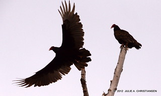 Turkey Vultures | by smiles7