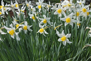 An Army of Daffodils | by jchants