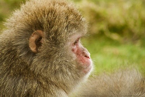Snow Monkey 21st-March-12 | by linlaw39