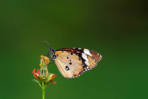 #850D0988- Butterfly is for flowers | by Zoemies...