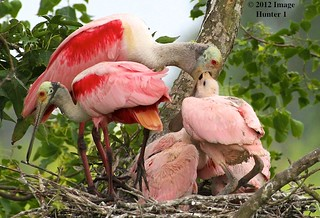 Roseate Spoonbill Family | by Image Hunter 1