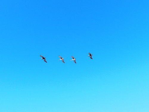 Pelicans | by anne-sun