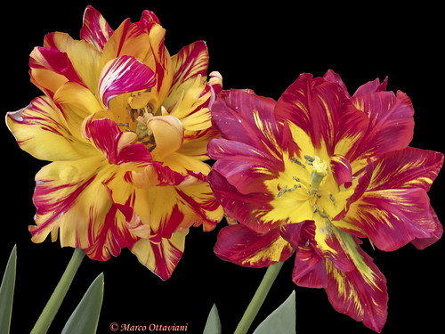 Tulipani a fiore doppio - Double-flowered tulips | by Marco Ottaviani on/off