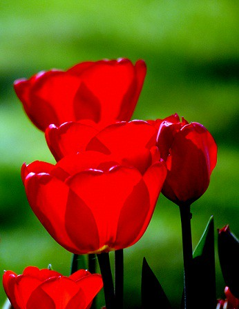 Red tulips | by Andy and Debs Captured moments