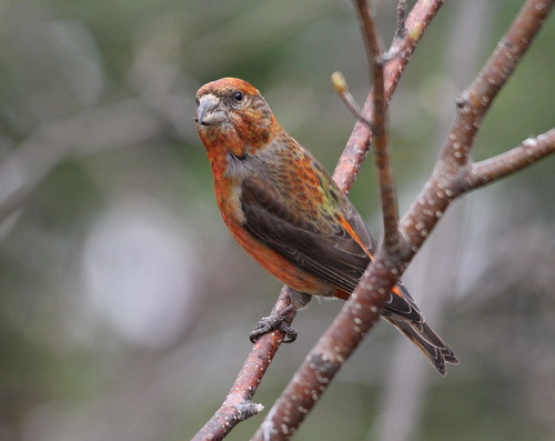 Red Crossbill (male) | by ~ Paula B