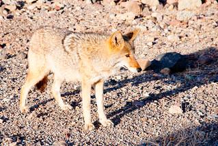 Coyote at Death Valley | by Crumblin Down