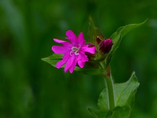 Red campion / Rote Lichtnelke (Silene dioica) | by Claude@Munich