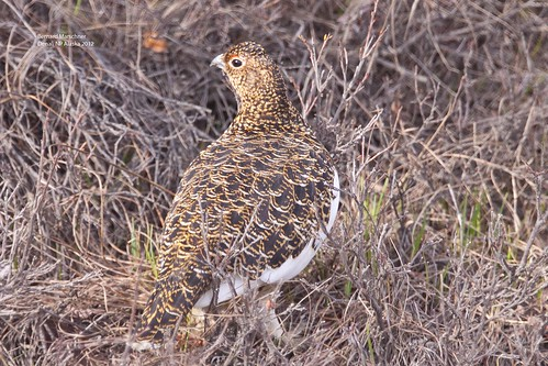 Willow Ptarmigan_MG_2626 | by bud_marschner