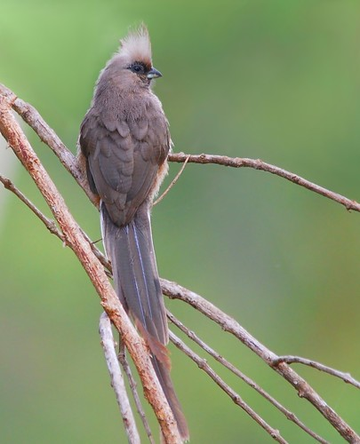Speckled mousebird | by anacm.silva