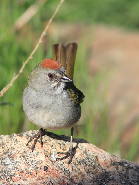 Green-tailed Towhee 05-20160612