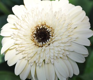 White Gerbera | by PL Tandon (Thanks for 4.9 Million+ views)